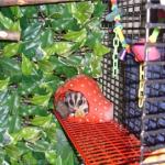 Sugar Glider Cage