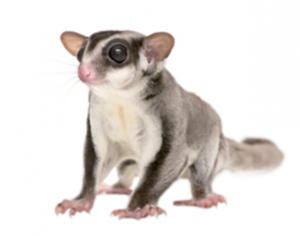 Advice For First Time Sugar Glider Owner