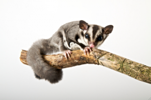 Sugar Gliders And Babies
