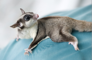 Sugar Glider Adoption
