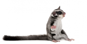 When To Get A Sugar Glider